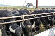 буйволи ферма