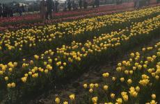 тюльпанове поле екскурсія