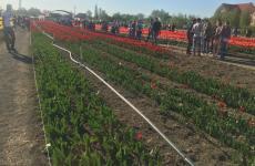 мамаївці тюльпани
