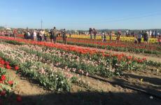мамаївці поле тюльпанів