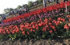 буковина поле тюльпанів